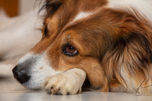 separation anxiety disorder in dogs
